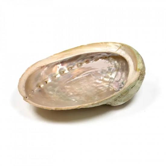Abalone skjell - Liten 10-11 cm - Røkelsesholder